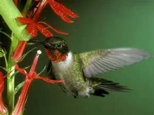 Hummingbird on Cardinal Lobelia