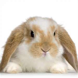 bunny lop ear