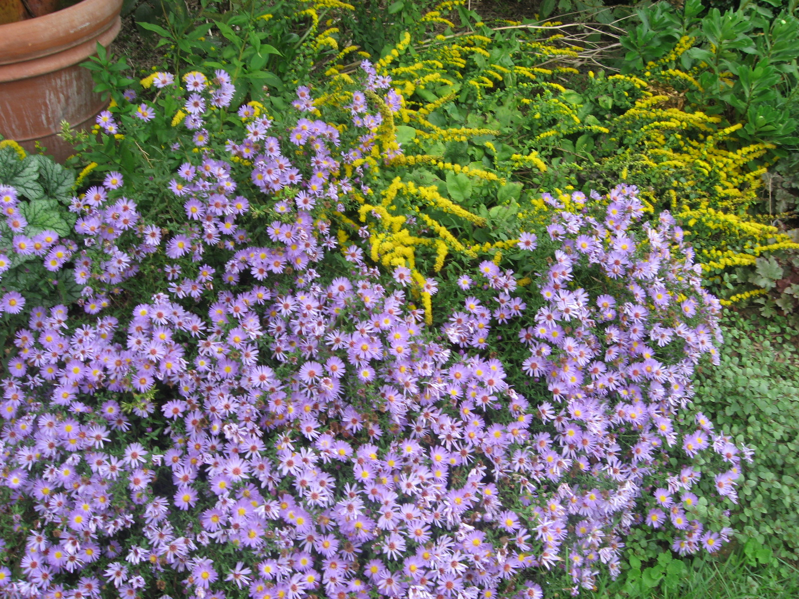 Blue New York Aster and Fireworks Goldenrod